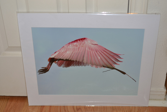 Spoonbill in flight print for sale, mat size 16x20, $50.00+ S/H