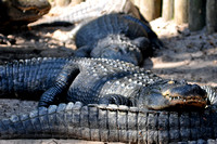 Alligator farm at St Augustine Florida, 04-29-2014, 5806, Animal Photography
