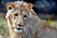 228, Young Male Lion, Gulf Breeze Zoo, Florida, Animal Photography
