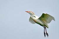 Cattle Egret, Babulcus Ibis, St Augustine Alligator Farm, 04-29-2014, 6519, Bird Photography