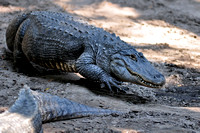 Alligator farm at St Augustine Florida, 04-29-2014, 5861, Animal Photography