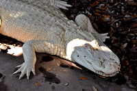 Alligator farm at St Augustine Florida, 04-29-2014, 5800, Animal Photography