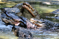 Alligator farm at St Augustine Florida, 04-29-2014, 5904, Animal Photography