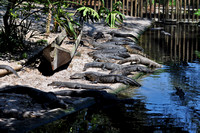 Alligator farm at St Augustine Florida, 04-29-2014, 5887, Animal Photography