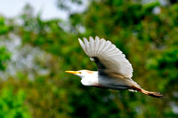 Cattle Egret, Babulcus Ibis, St Augustine Alligator Farm, 04-29-2014, 7362, Bird Photography