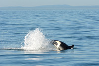 09-2015, Whale watching, Orca Watching, Friday Harbor, Washington, 3427