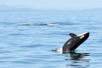 09-2015, Whale watching, Orca Watching, Friday Harbor, Washington, 3449