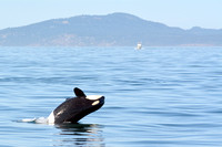 09-2015, Whale watching, Orca Watching, Friday Harbor, Washington, 3458