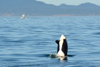 09-2015, Whale watching, Orca Watching, Friday Harbor, Washington, 3464