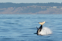 09-2015, Whale watching, Orca Watching, Friday Harbor, Washington, 3493