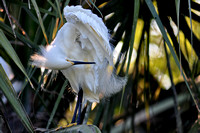 Snowy Egret, Egretta Thula, St Augustine Alligator Farm, 04-28-2014, 5354, Bird Photography