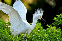 Snowy Egret, Egretta Thula, St Augustine Alligator Farm, 04-28-2014, 5459, Bird Photography