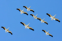 255, White Pelicans, Mobile Bay, Delta, Bird Photography