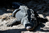 Alligator farm at St Augustine Florida, 04-29-2014, 5802, Animal Photography
