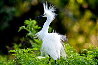 Snowy Egret, Egretta Thula, St Augustine Alligator Farm, 04-28-2014, 5449, Bird Photography