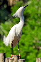 Snowy Egret, Egretta Thula, St Augustine Alligator Farm, 04-28-2014, 6034, Bird Photography