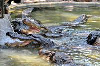 Alligator farm at St Augustine Florida, 04-29-2014, 5909, Animal Photography