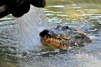 Alligator farm at St Augustine Florida, 04-29-2014, 5889, Animal Photography
