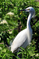 Snowy Egret, Egretta Thula, St Augustine Alligator Farm, 04-28-2014, 6100, Bird Photography