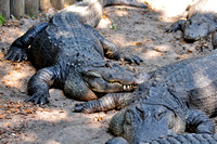 Alligator farm at St Augustine Florida, 04-29-2014, 5857, Animal Photography