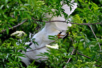 Snowy Egret, Egretta Thula, St Augustine Alligator Farm, 04-28-2014, 5466, Bird Photography