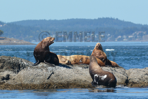 09-2015, Whale watching, Orca Watching, Friday Harbor, Washington, 3541