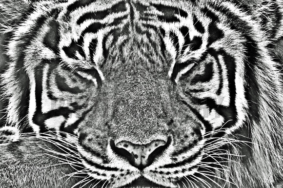 175, Sleepin tiger in black and white,animal