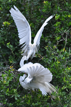 Great Egret, Ardea Alba, Casmerodius Albus, fighting, St Augustine Alligator Farm, 04-28-2014, 6658, Bird Photography