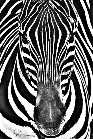 174 zebra in black and whiteanimal