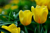 251, Yellow Tulip, Bellingrath Gardens, Flower Photography