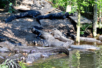 Alligator farm at St Augustine Florida, 04-29-2014, 5819, Animal Photography
