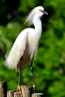 Snowy Egret, Egretta Thula, St Augustine Alligator Farm, 04-28-2014, 6033, Bird Photography