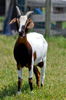271, Goat is making funny faces, Animal Photography
