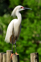 Snowy Egret, Egretta Thula, St Augustine Alligator Farm, 04-28-2014, 6038, Bird Photography