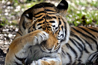 230, Tiger is little shy, Gulf Breeze Zoo, Florida, Animal Photography