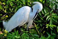 Snowy Egret, Egretta Thula, St Augustine Alligator Farm, 04-28-2014, 5693, Bird Photography
