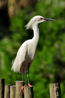 Snowy Egret, Egretta Thula, St Augustine Alligator Farm, 04-28-2014, 6045, Bird Photography