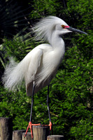 Snowy Egret, Egretta Thula, St Augustine Alligator Farm, 04-28-2014, 6029, Bird Photography