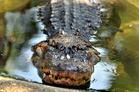 Alligator farm at St Augustine Florida, 04-29-2014, 5880, Animal Photography