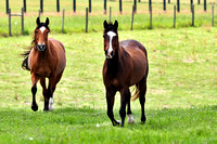 267, Two beautiful horses running, Animal Photography, 5012