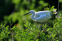 Snowy Egret, Egretta Thula, St Augustine Alligator Farm, 04-28-2014, 6135, Bird Photography