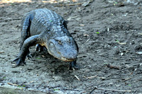 Alligator farm at St Augustine Florida, 04-29-2014, 5818, Animal Photography
