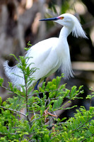 Snowy Egret, Egretta Thula, St Augustine Alligator Farm, 04-28-2014, 5817, Bird Photography